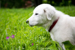 Cute white maremma puppy dog Stock Image
