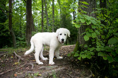 Cute white maremma puppy dog Stock Photo