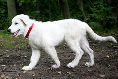 Cute white maremma puppy dog Stock Images