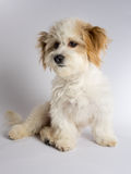 Cute white mixed breed dog with red ears. Small maltese mix puppy sitting on a white background stock image