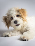 Cute white mixed breed dog with red ears. Small maltese mix puppy sitting on a white background stock photos