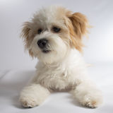 Cute white mixed breed dog with red ears. Small maltese mix puppy sitting on a white background stock images