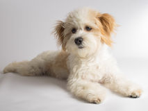 Cute white mixed breed dog with red ears royalty free stock images