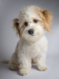 Cute white mixed breed dog with red ears. Small smiling maltese mix puppy sitting on a white background stock photography