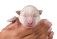 Cute White Newborn Pomeranian Puppy Royalty Free Stock Photos