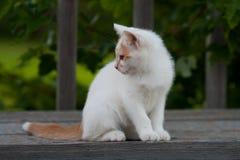 Cute White & Orange Kitten. A cute white and orange kitten sitting on a porch Royalty Free Stock Image