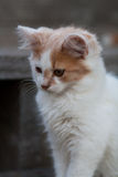 A Cute White & Orange Kitten. A cute white and orange kitten sitting on a porch Royalty Free Stock Images