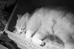 Cute white persian cat sleeping on basket. Backgrounds royalty free stock photography