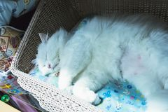 Cute white persian cat sleeping on basket. Backgrounds stock images