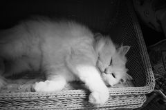 Cute white persian cat sleeping on basket. Backgrounds stock photography