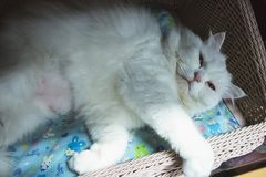 Cute white persian cat sleeping on basket. Backgrounds royalty free stock images
