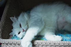 Cute white persian cat sleeping on basket. Backgrounds stock photo