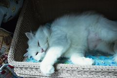 Cute white persian cat sleeping on basket. Backgrounds stock image