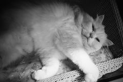 Cute white persian cat sleeping on basket. Backgrounds royalty free stock photos