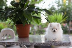 Cute white pomeranian dog in green summer grass royalty free stock images
