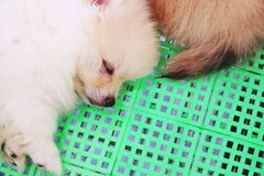 Cute white Pomeranian dog sleep on basket close up royalty free stock photography