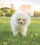 Cute white  Pomeranian (Pom) playing on the lawn Royalty Free Stock Images