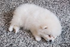 Cute White Pomeranian Puppy on Granite Background.  Royalty Free Stock Photography