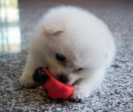 Cute White Pomeranian Puppy on Granite Background.  Royalty Free Stock Photos