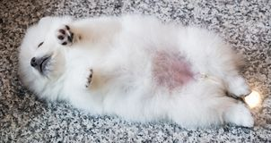 Cute White Pomeranian Puppy on Granite Background.  Royalty Free Stock Photo