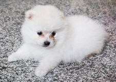 Cute White Pomeranian Puppy on Granite Background.  Stock Photography