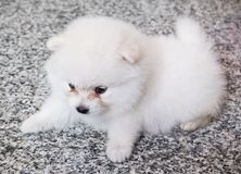 Cute White Pomeranian Puppy on Granite Background.  Royalty Free Stock Image