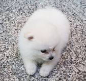 Cute White Pomeranian Puppy on Granite Background.  Stock Photos