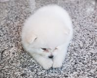Cute white pomeranian puppy on granite background.  Stock Images