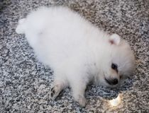 Cute White Pomeranian Puppy on Granite Background.  Royalty Free Stock Images