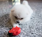 Cute White Pomeranian Puppy on Granite Background.  Stock Image