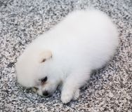 Cute White Pomeranian Puppy on Granite Background.  Stock Photo