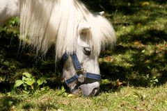 Cute white pony. Eating grass from a meadow Royalty Free Stock Photos