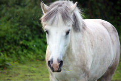 Cute white pony Stock Images