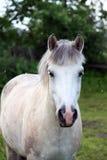 Cute white pony Royalty Free Stock Photo
