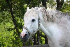 Cute white pony Stock Photography