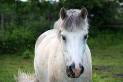 Cute white pony Royalty Free Stock Photos