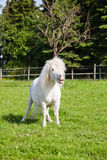 Cute white pony Stock Photos