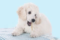 Cute white poodle with chew bone Royalty Free Stock Photography