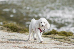 Cute white poodle dog at winter mountain scene Stock Images