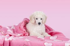 Cute white poodle relaxing under blanket Stock Images