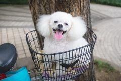 Cute white poodle sitting on bike basket and smiling stock image