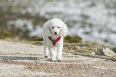 Cute white poodle at winter mountain scene. Cute white poodle at winter mountain Royalty Free Stock Photography