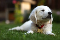 Cute white pup laying on lawn Royalty Free Stock Photo