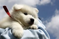 Cute white puppy Stock Photos