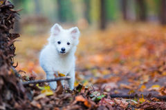 Free Cute White Puppy Royalty Free Stock Photo - 78663795