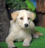 Cute white puppy Stock Images