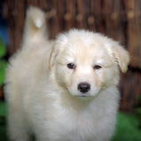 Cute white puppy Stock Photography