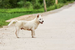 Cute white puppy in asia Royalty Free Stock Images