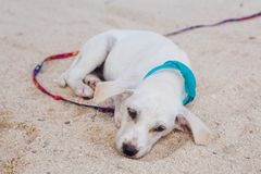 Cute white puppy on the beach Royalty Free Stock Images