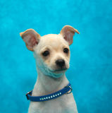 Cute white puppy in a blue collar. Portrait of a small dog. stock photos